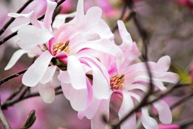 Magnolia Loebneri Leonard Messel Magnolia Cultivar Wave Hill
