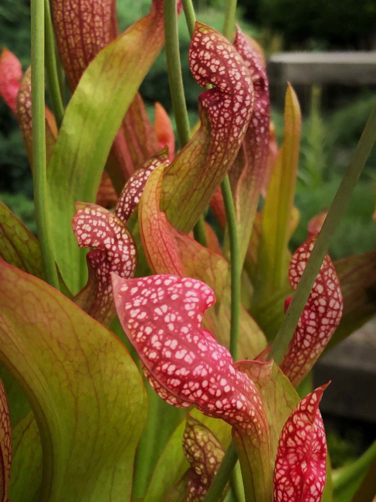 Pitcher plant IMG 3361