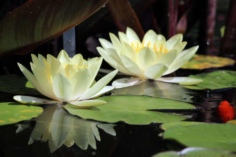 Nymphaea close up 2