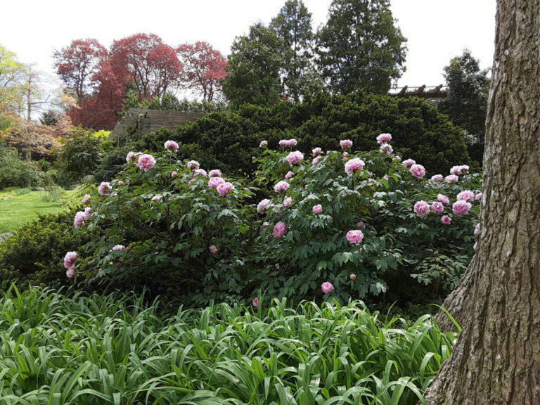 Tree peony bush 2 may 2020