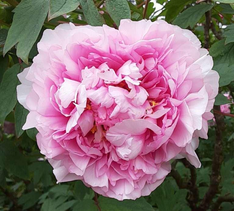 Tree peony close up may 2020